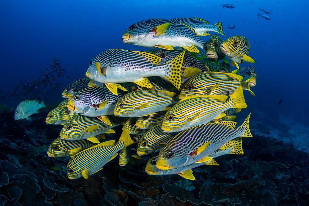 sweetlips in raja ampat CREDIT: FABRICE DUDENHOFER/ coral reef image bank