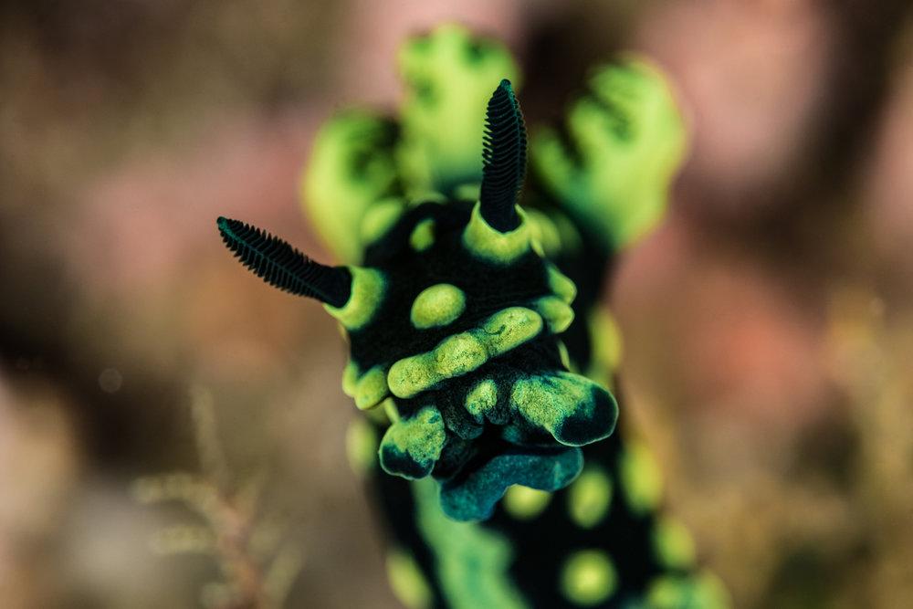 nudibranch Credit: fabrice dudenhofer/ coral reef image bank