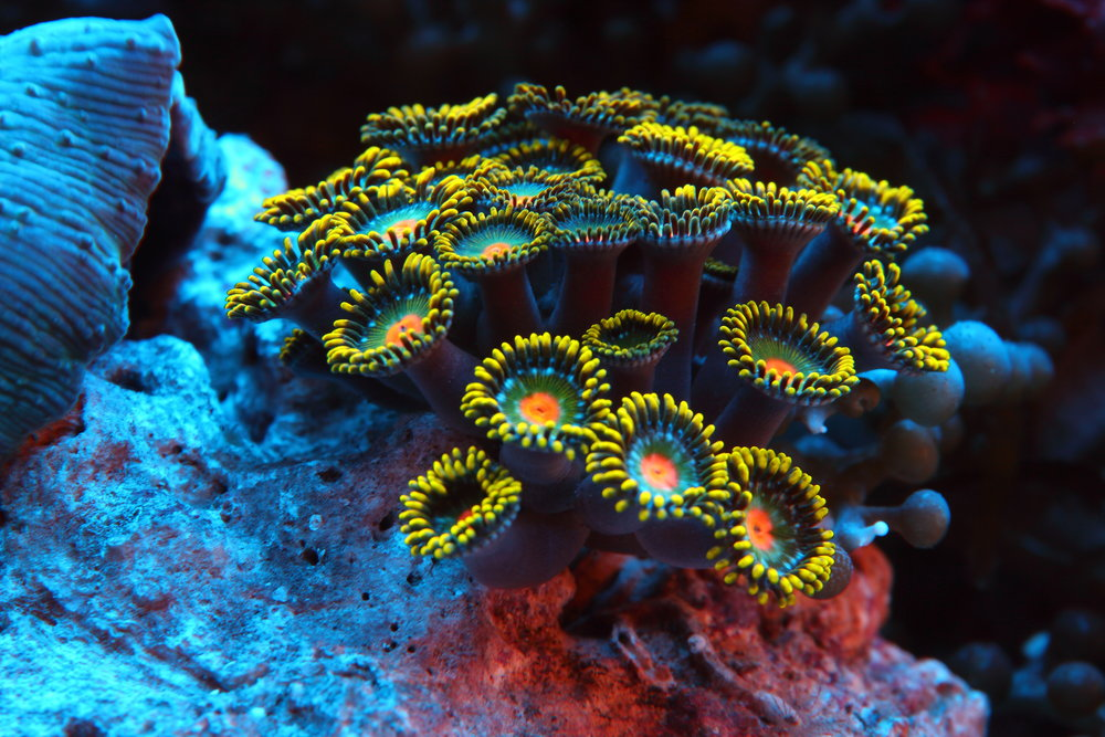 CORAL UNDER UV LIGHT CREDIT: RAMONA OSCHE/ coral reef image bank
