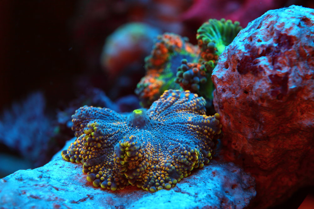 DOWNLOAD   - CORAL UNDER UV LIGHT CREDIT: RAMONA OSCHE