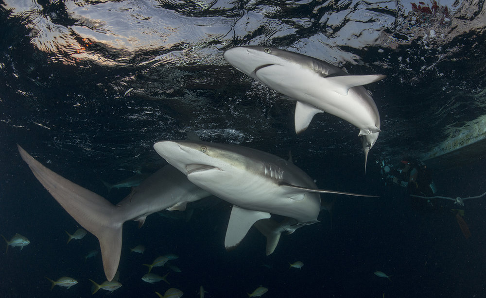 DOWNLOAD   - SILKY SHARKS IN CUBA AT NIGHT CREDIT: Jayne JENKINS