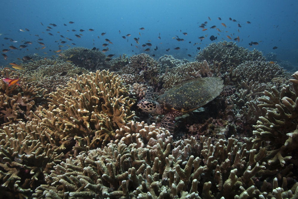 DOWNLOAD   - TURTLE IN THE PHILIPPINES CREDIT: RICK MISKIV