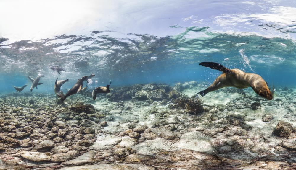 DEVILS CROWN, GALAPAGOS credit: THE OCEAN AGENCY / XL CATLIN SEAVIEW SURVEY