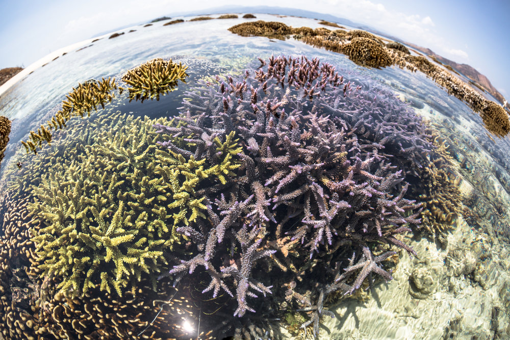 03 - Restored coral colonies grow wide CREDIT: MArtin COLOGNOLI