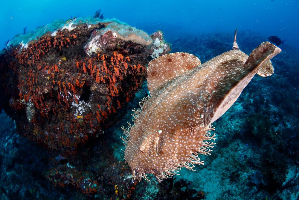 DOWNLOAD   -WOBBEGONG SHARK CREDIT: GRANT THOMAS