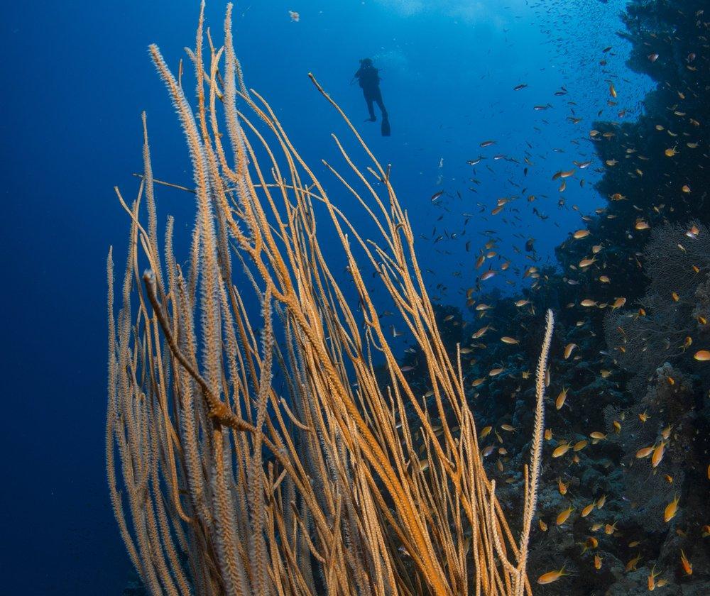 DIVER behind coral CREDIT: RENATA ROMEO/ coral reef image bank