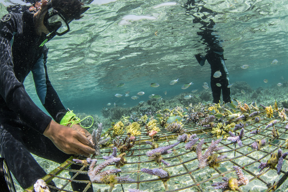 local fishermen trained in reef restoration and management are seeing a positive turn for their reefs credit: MArtin COLOGNOLI
