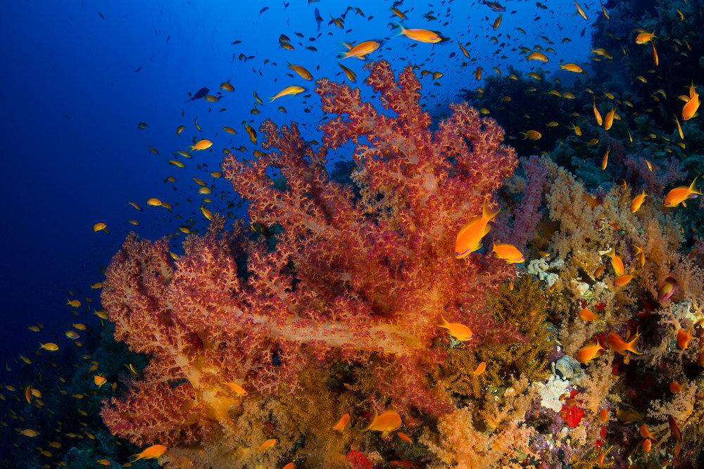 RAS MOHAMMED MARINE PARK, EGYPT CREDIT: FABRICE DUDENHOFER/ coral reef image bank