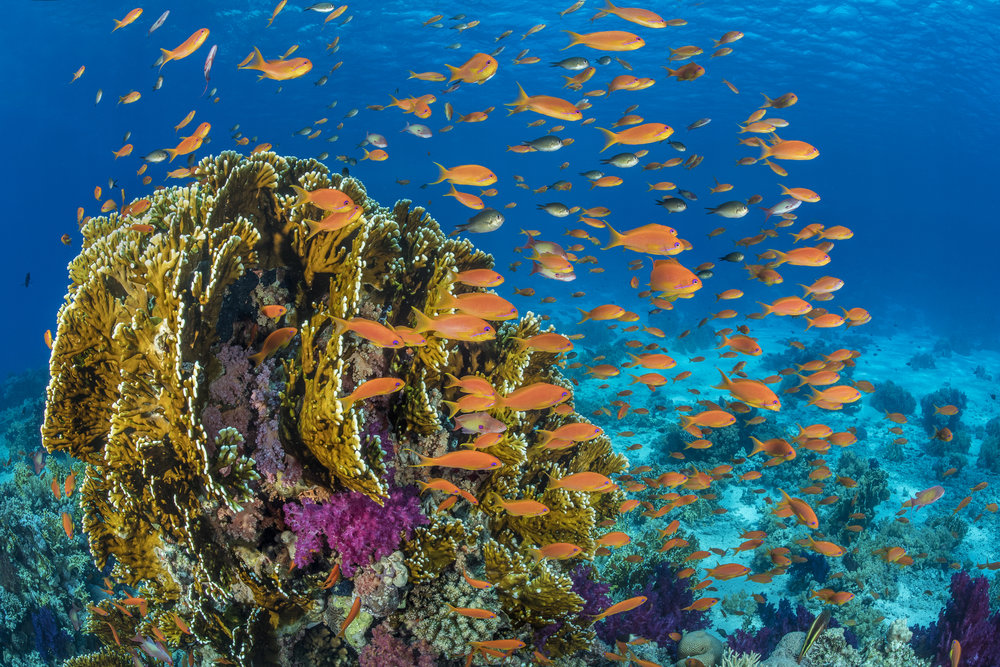 RAS MOHAMMED NATIONAL PARK, EGYPT CREDIT: ALEX MUSTARD / coral reef image bank