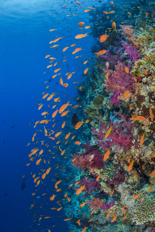 RAS MOHAMMED MARINE PARK, EGYPT CREDIT: ALEX MUSTARD/ coral reef image bank