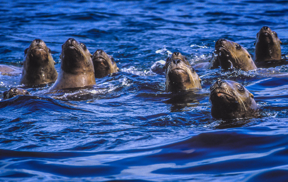 Steller sea lions in Hornby Island, BC credit: JETT BRITNELL/ coral reef image bank