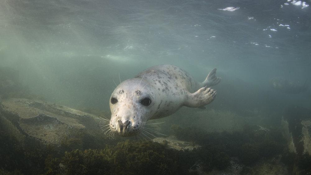 grey seal, UK redit: ellen cuylaerts / coral reef image bank
