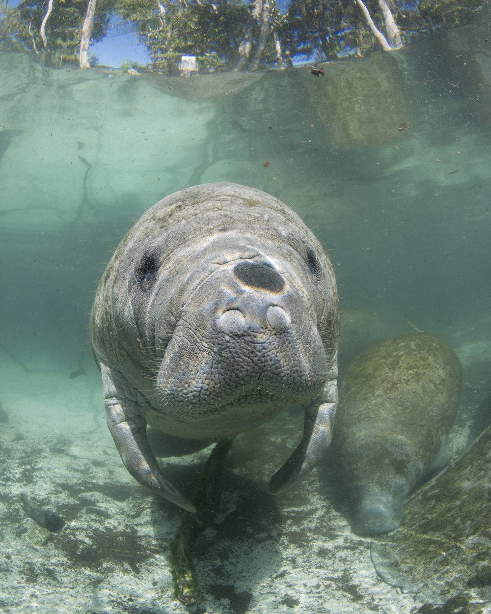 Manatee in Crystal River redit: ellen cuylaerts / coral reef image bank