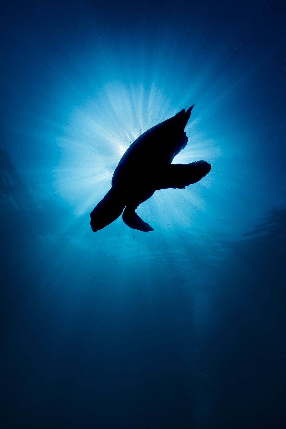 TURTLE SILHOUETTE CREDIT: GRANT THOMAS / coral reef image bank