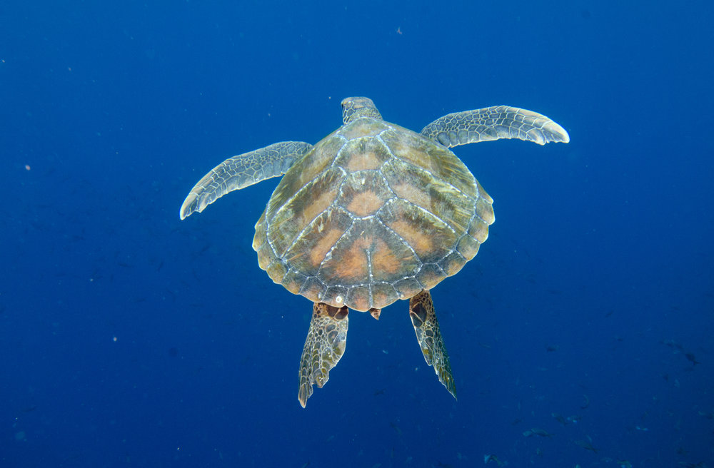 TURTLE SWIMMING CREDIT: THE OCEAN AGENCY / coral reef image bank