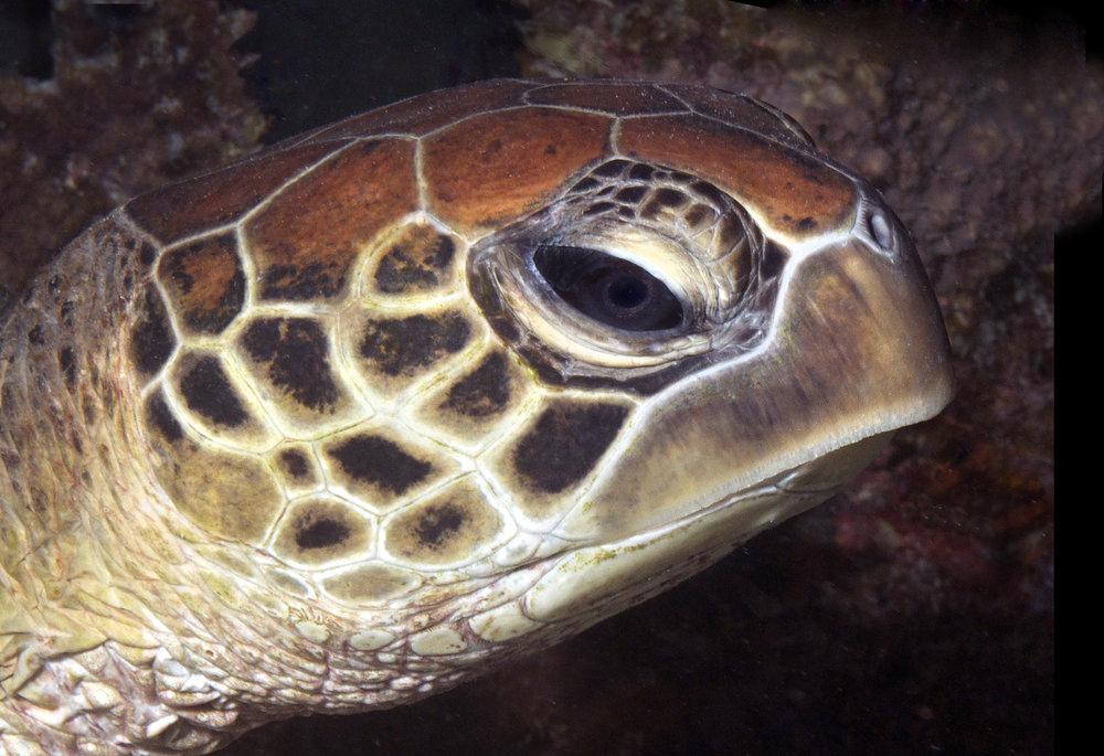 TURTLE CREDIT: THE OCEAN AGENCY / coral reef image bank