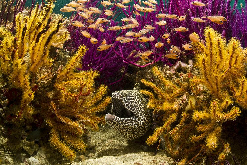 honeycomb moray credit: warren baverstock / coral reef image bank