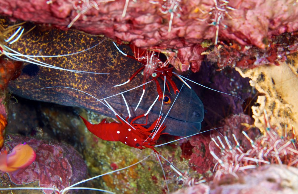 moray with cleaner shrimp credit: Gregory piper