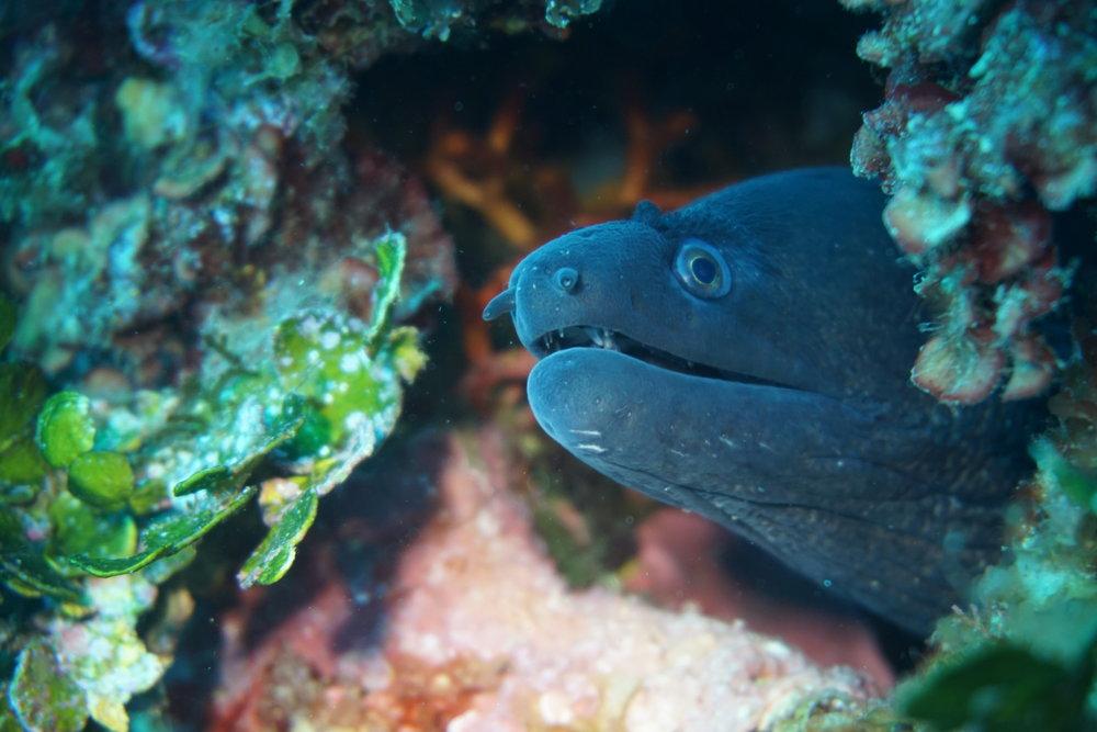 moray eel credit: Ceyhan Bekiroglu / coral reef image bank