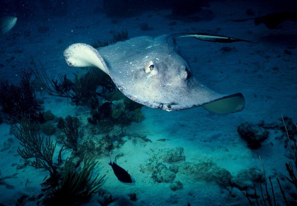 stingray credit: Katerina Katopis/ coral reef image bank