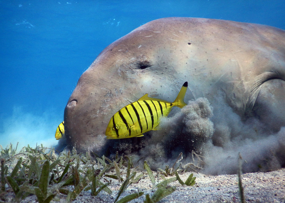 manatee CREDIT: Anett Szaszi / coral reef image bank