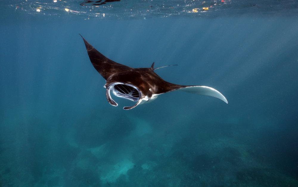 manta fly-by, nusa penida CREDIT: Anett Szaszi/ coral reef image bank