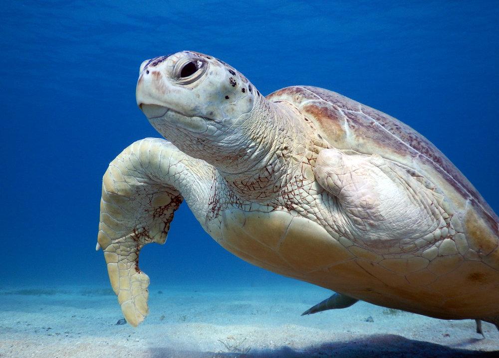 TURTLE CREDIT: Anett Szaszi/ coral reef image bank