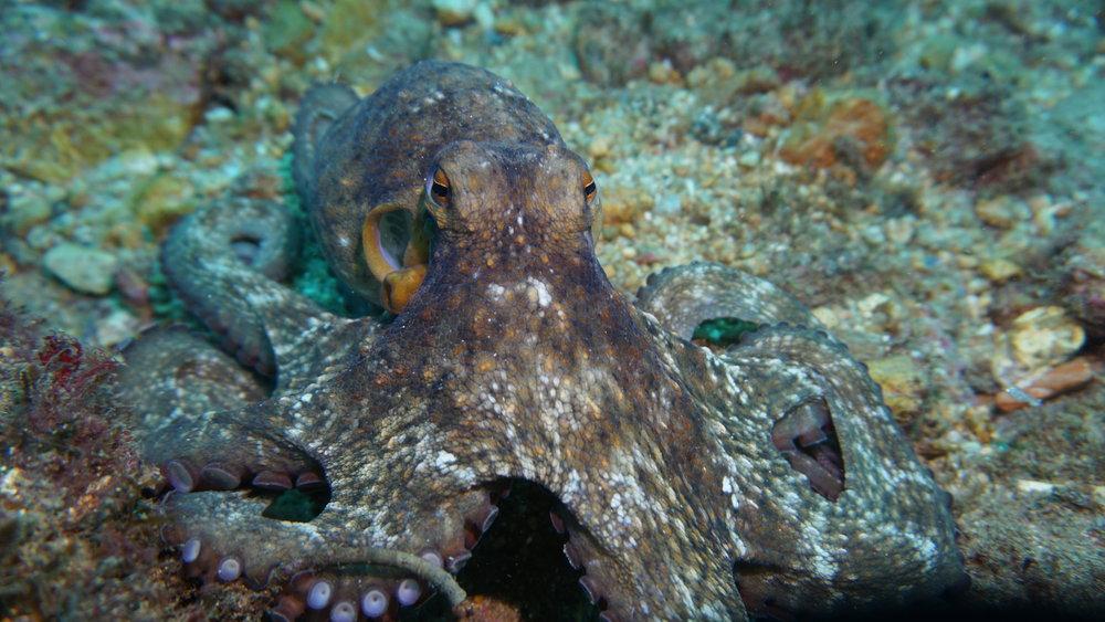 octopus credit: ceyhan bekiroglu / coral reef image bank