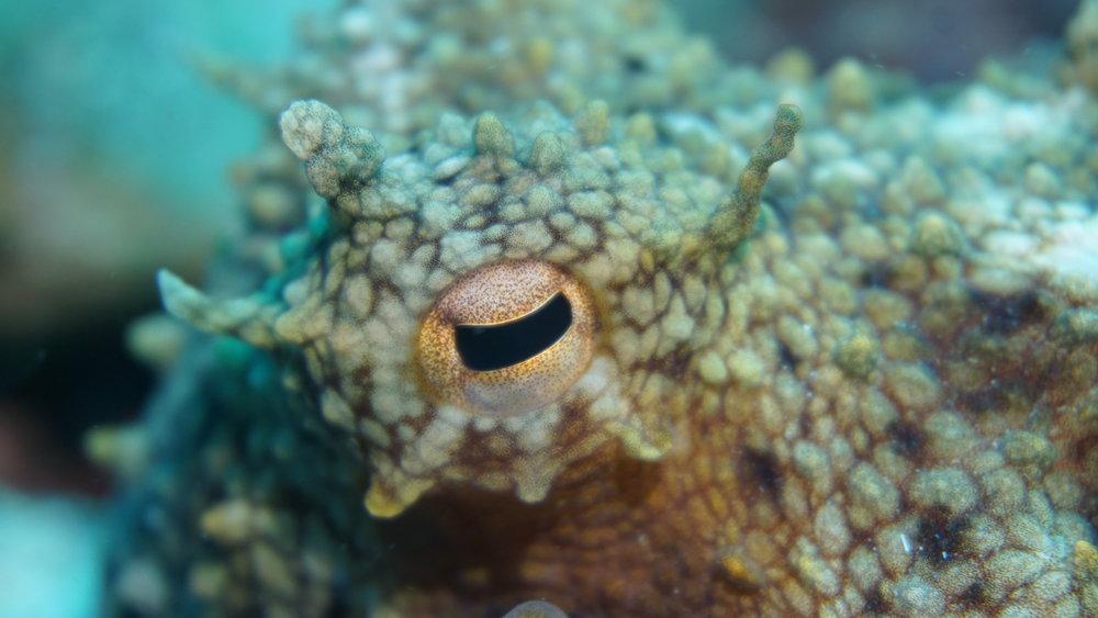 octopus eye credit: ceyhan bekiroglu / coral reef image bank