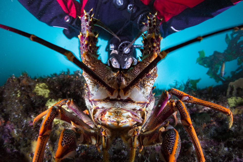 diver with lobster credit: grant thomas / coral reef image bank