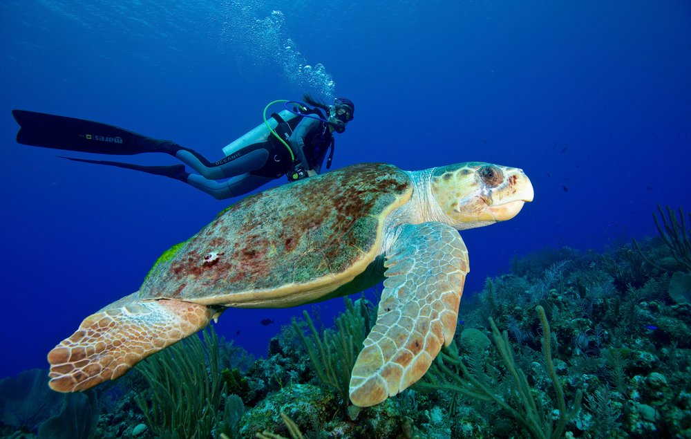 TURTLE SWIMMING with diver credit: gregory piper / coral reef image bank