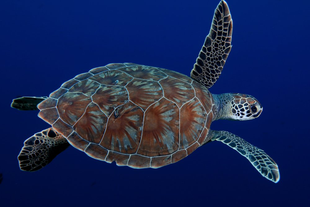 TURTLE SWIMMING credit: gregory piper / coral reef image bank