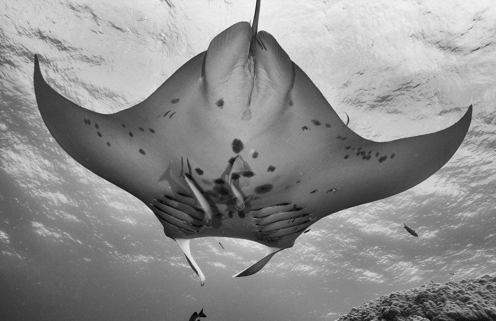 manta underside credit: gregory piper/ coral reef image bank