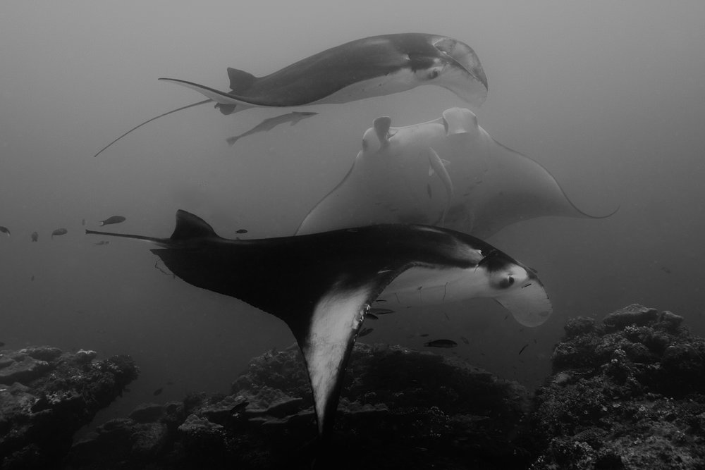 mantas credit: gregory piper / coral reef image bank