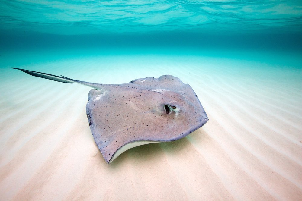 southern stingray credit: gregory piper/ coral reef image bank