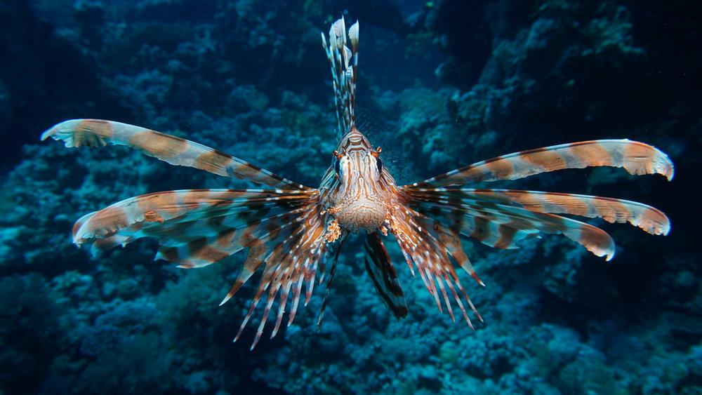lionfish credit: Ceyhan Bekiroglu / coral reef image bank
