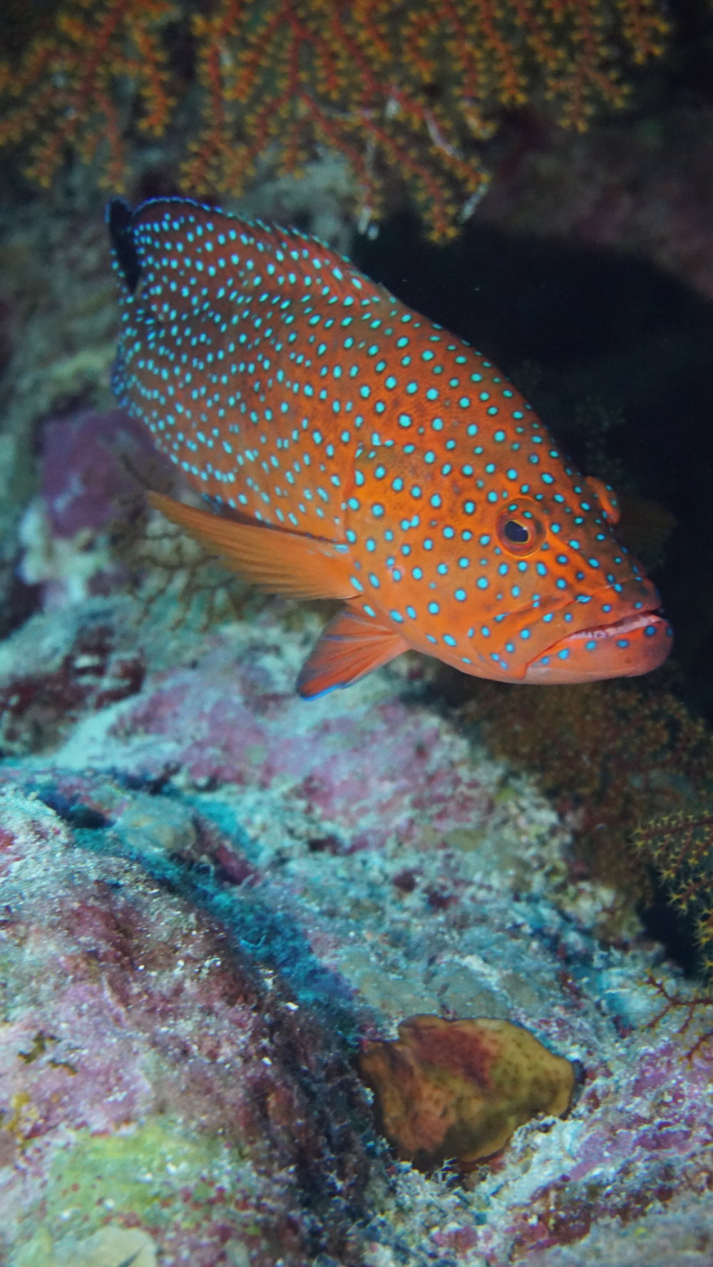 coral hind credit: Ceyhan Bekiroglu / coral reef image bank