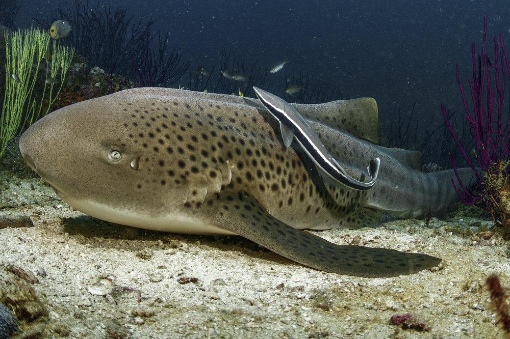 Zebra Shark, Daymaniyat Islands credit: david p. robinson/ coral reef image bank