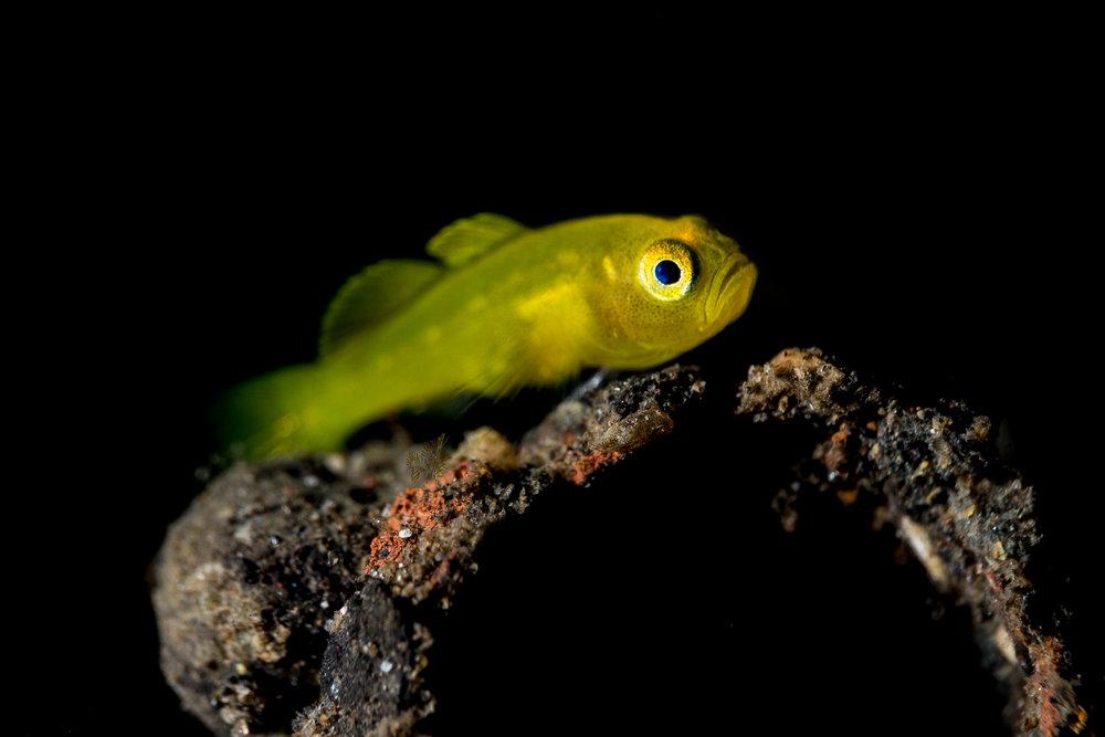 yellow gobie CREDIT: WOJTEK MECZYNSKI / coral reef image bank
