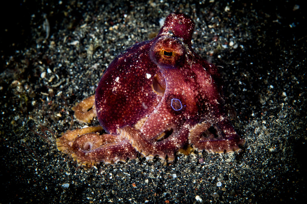 mototi octopus CREDIT: WOJTEK MECZYNSKI / coral reef image bank