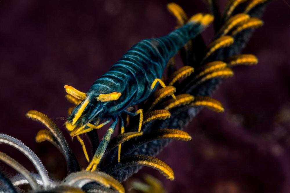 Ambon crinoid shrimp  CREDIT: WOJTEK MECZYNSKI/ coral reef image bank