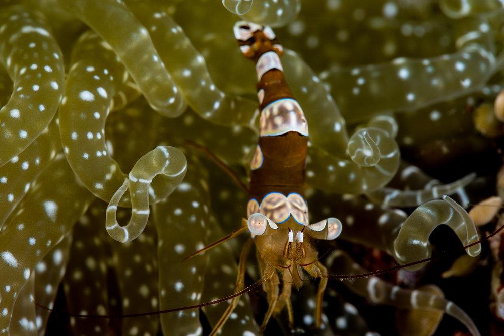 Sexy shrimp / squat shrimp  CREDIT: WOJTEK MECZYNSKI / coral reef image bank