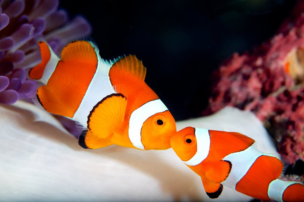 clownfish credit: Gregory Piper/ coral reef image bank