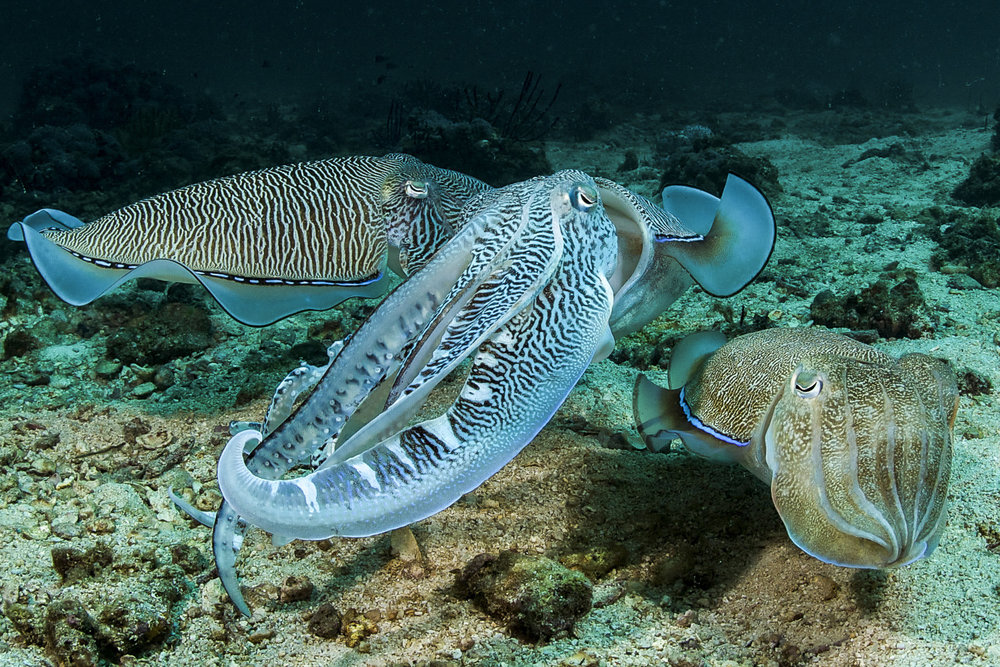 cuttlefish credit: David robinson / coral reef image bank