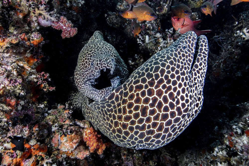 honeycomb moray eel credit: david robinson / coral reef image bank