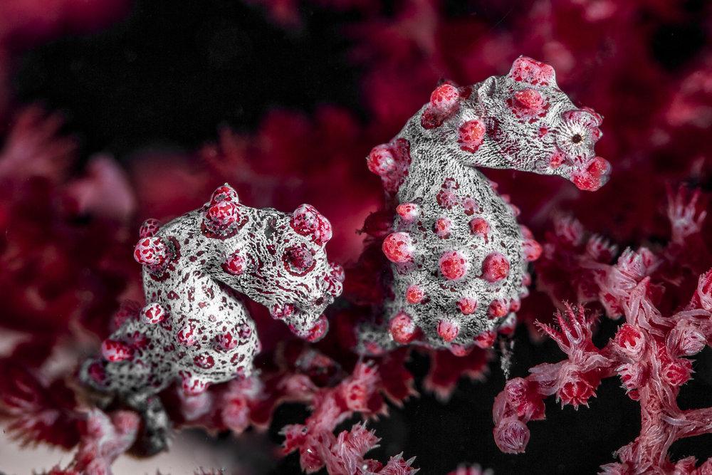 pgymy seahorse credit: david p. robinson / coral reef image bank