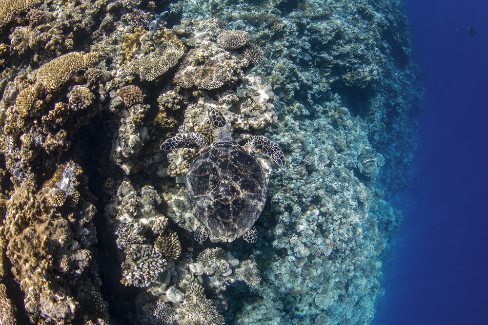 thomas reef, tiran island credit: Renata romeo/ coral reef image bank