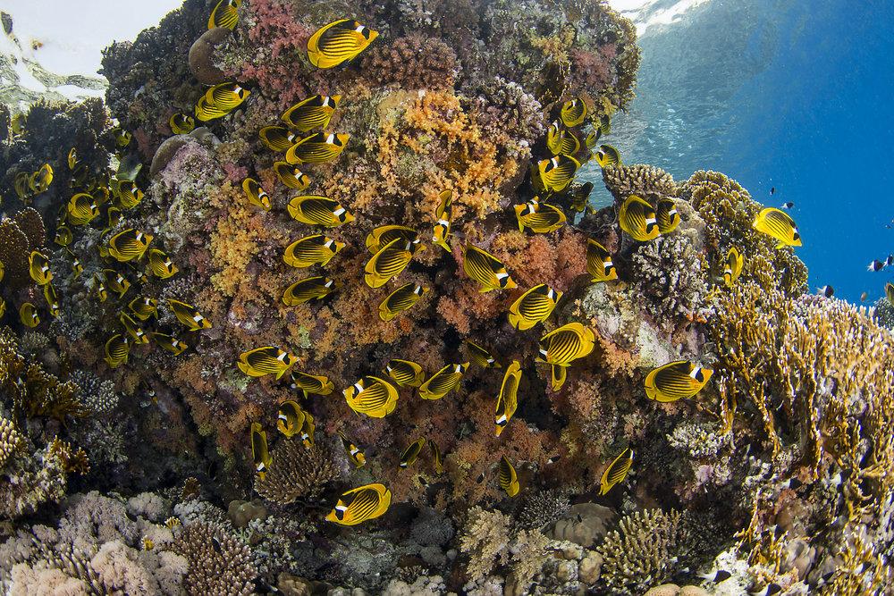 Jackson Reef, Tiran Island credit: renata romeo/ coral reef image bank