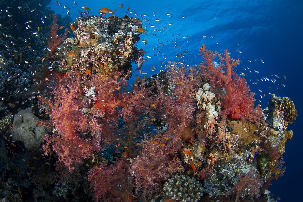 Woodhouse Reef, Tiran Island redit: renata romeo/ coral reef image bank
