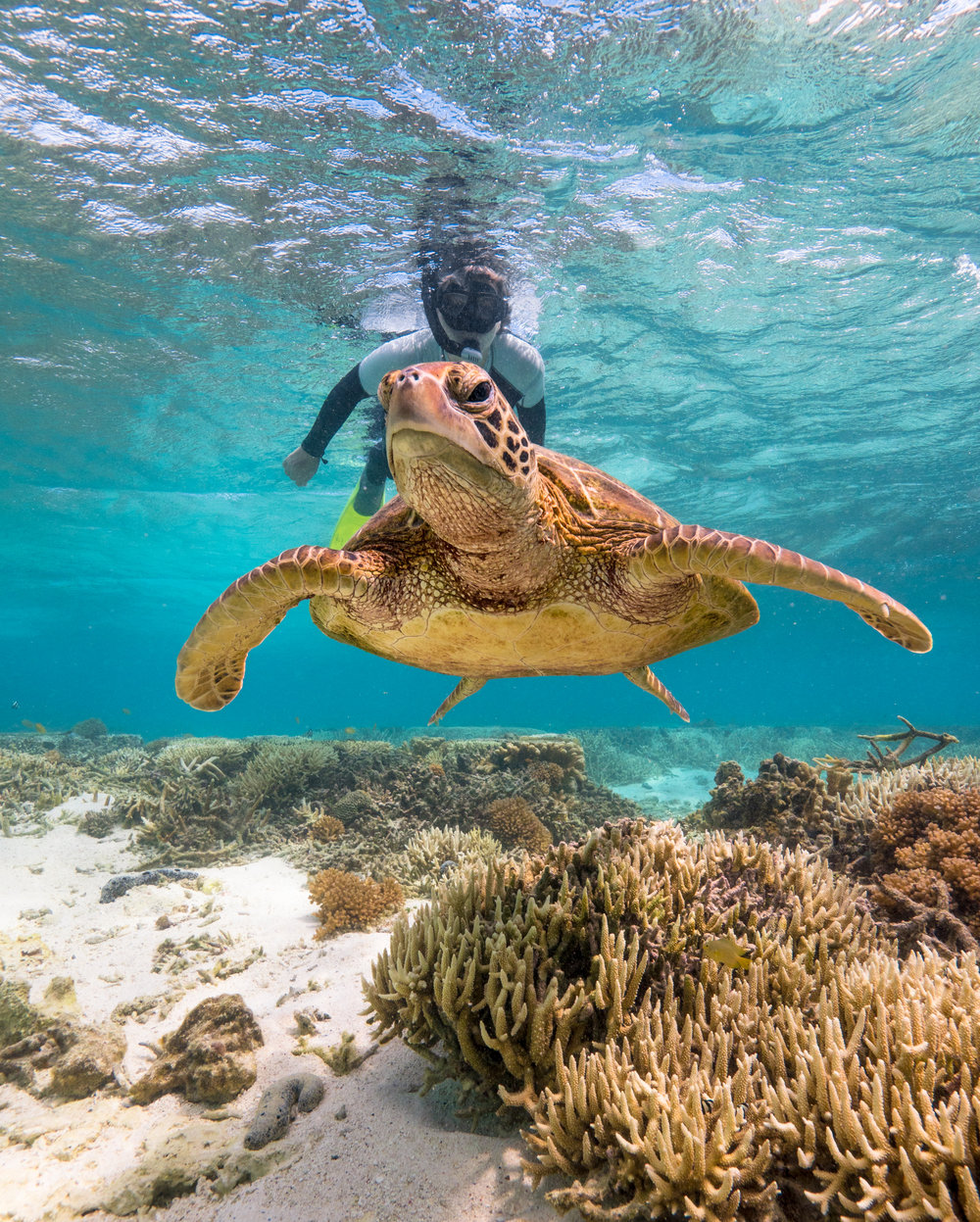 TURTLE IN Great Barrier Reef with snorkeler credit: mark fitz / coral reef image bank